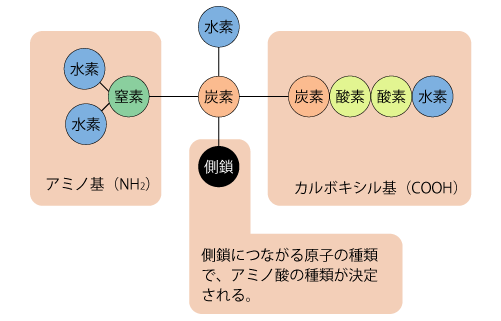 アミノ酸構造