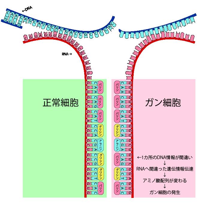 がん細胞と正常細胞のアミノ酸